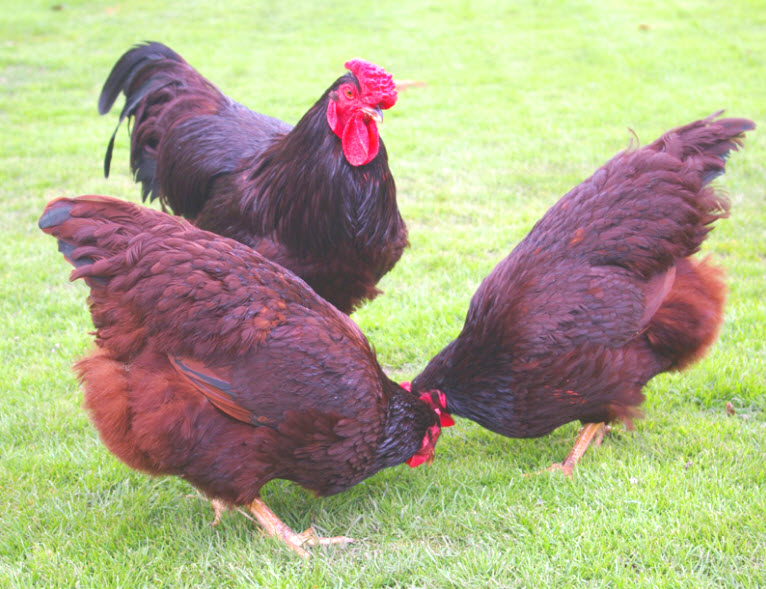 3 dark red chickens pecking the grass for dinner